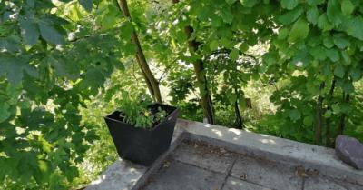 man sieht viele grüne Bäume und das Ende einer betonierten Terrasse. Ein schwarzer Blumentopf-Kübel steht da mit grünen Pflanzen drin. Es ist Schatten.