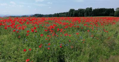 man sieht ein grünes Feld mit vielen roten Mohnblüten.