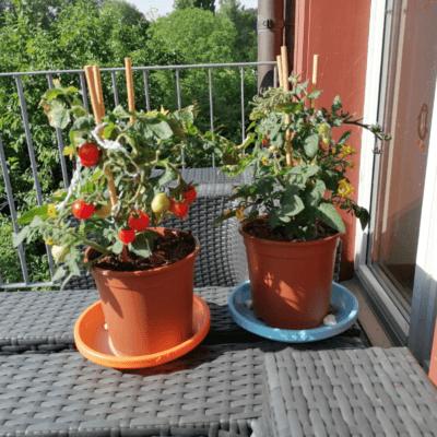 Man sieht zwei Tomatenpflanzen im Topf auf dem Balkon. Sie sind ganz ausgetrocknet und müssen richtig gut gegossen werden. Heute am 12. Juni 2021. Das ist das vierte Foto für 12 von 12.