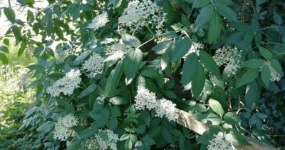 Man sieht einen Holunderstrauch mit weissen Blüten. Im Juni 2021 wurde dieser Busch im Garten richtig gross.