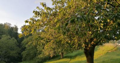 Man sieht einen Kirschbaum morgens von der Sonne beschienen.