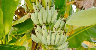 Man sieht Bananenstauden mit grünen Bananen dran. Unreif sind Bananen nicht so gesund.