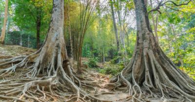 man sieht einen Wald. Zwei Bäume sieht man unten mit riesigen Wurzeln.