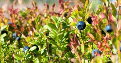 Man kann Wilde Heidelbeeren am Strauch erkennen.